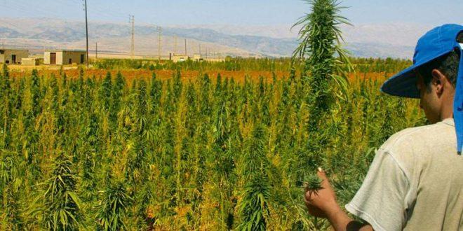 Cannabis-Maroc